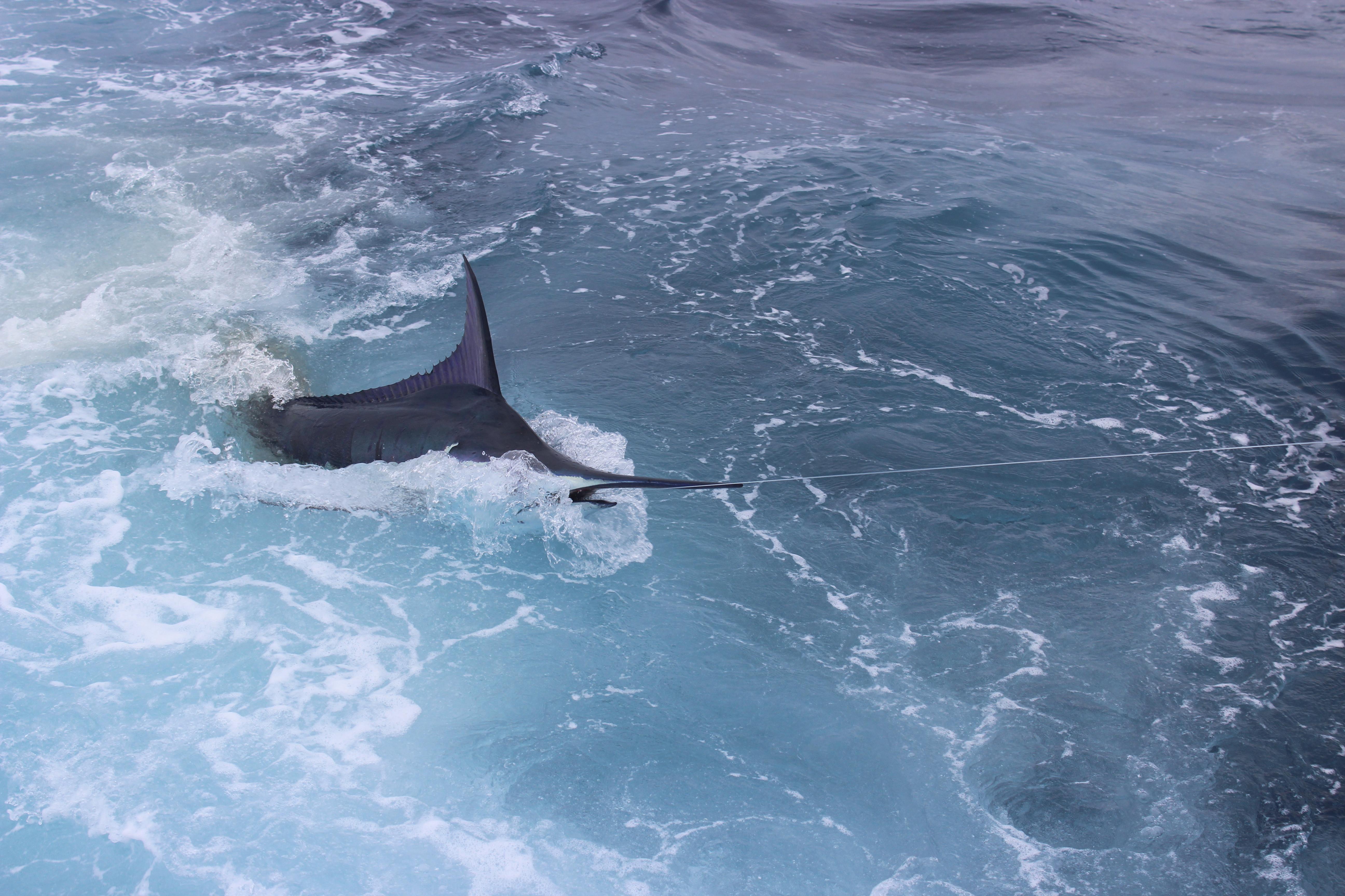 Blue marlin right short rigger hunter sportfishing for Deep sea fishing morehead city nc