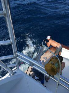Blue marlin are here hunter sportfishing deep sea for Deep sea fishing jacksonville fl